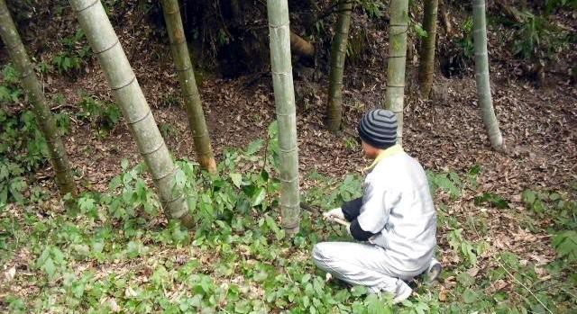 竹焼酎 竹伐採